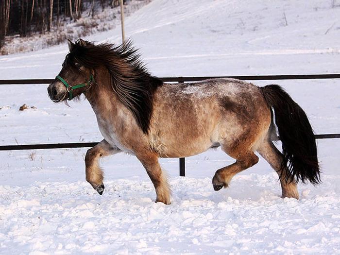 Якутская порода лошади